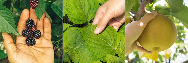 블랙베리, 깻잎, 배 등 마음수련 영농 프로그램 중 재배하는 작물들